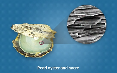 Discovering the biomechanism behind the formation of mother-of-pearl